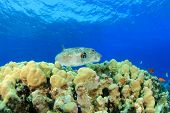 Giant Puffer fish on coral