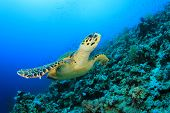 foto of hawksbill turtle  - Hawksbill Sea Turtle swims over coral reef - JPG