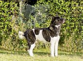 picture of pinto  - A profile view of a brindle white and black pinto American Akita dog standing on the grass distinctive for its plush tail that curls over his back and for the black mask - JPG