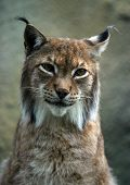 Portrait Of A Lynx poster