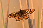 image of marshes  - Marsh fritillary butterfly on marsh grass stem - JPG