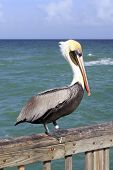 pic of florida-orange  - Close up of a large brown gray black white yellow red orange adult pelican seen from the side standing on a pier railing in front of green blue waters of the Atlantic ocean in Pompano Beach Florida - JPG