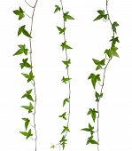 stock photo of climber plant  - Set of straight ivy stems isolated - JPG