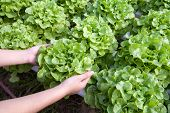 picture of hydroponics  - Organic hydroponic vegetable on hand in a garden - JPG