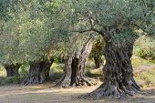 foto of greek-island  - Ancient olive trees on the greek island of Thassos.