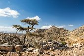 image of jabal  - Lonely tree growing in highlands - JPG