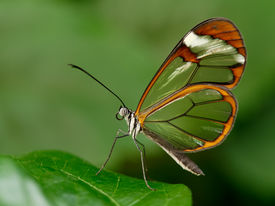 image of fragile  - Beautiful and fragile butterfly from the tropics - JPG