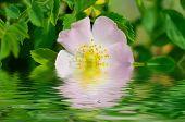 foto of dog-rose  - Flowers of dog rose - JPG