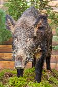 pic of taxidermy  - stuffed wild boar on moss in artifical forest - JPG
