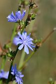 picture of chicory  - Beautiful blue flowers of chicory close up - JPG