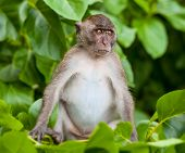 image of phi phi  - Monkey on Monkey Beach Phi Phi Thailand  - JPG