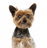 foto of 13 year old  - Old yorkshire terrier  - JPG