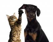 stock photo of doberman pinscher  - Cat pawing at a dog ear - JPG