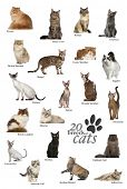 image of american bombay  - Cat breeds poster in English - JPG