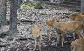 stock photo of roebuck  - a group of male and female deer in the zoo - JPG