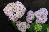 picture of hydrangea  - Hydrangea is wonderful garden flower. Pink hydrangea beautiful spring flower.