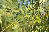 picture of olive trees  - Olive trees garden - JPG
