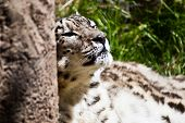 picture of snow-leopard  - Photo of a Snow Leopard resting against a tree. ** Note: Soft Focus at 100%, best at smaller sizes - JPG