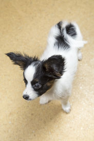 stock photo of linoleum  - Cute Puppy Papillon is on linoleum floor - JPG