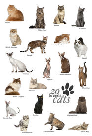 picture of american bombay  - Cat breeds poster in English - JPG
