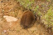 image of egg-laying  - Australian Echidna sometimes known as spiny anteaters belong to the family Tachyglossidae in the monotreme order of egg - JPG
