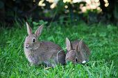 image of wild-rabbit  - Two cute gray wild baby rabbits in grass - JPG