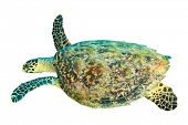 picture of hawksbill turtle  - Hawksbill Sea Turtle isolated on white - JPG