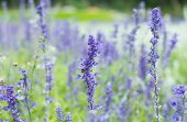 image of salvia  - Beautiful spring background with Salvia farinacea Benth - JPG