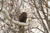 stock photo of fish-eagle  - A Bald Eagle perched on a tree waiting for a fish to appear - JPG