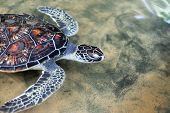 image of green turtle  - Turtle in the wild on the island - JPG