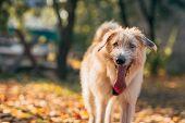 stock photo of irish  - Irish Wolfhound standing on the autumn grass - JPG