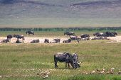 picture of wildebeest  - A Wildebeest mother and newly born calf daytime in Tanzania - JPG