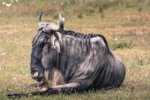 stock photo of wildebeest  - A Wildebeest mother and newly born calf Ngorongoro Crater Tanzania - JPG
