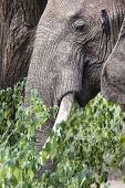 image of elephant ear  - Huge African elephant bull in nature daytime alone - JPG