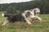picture of collie  - Two amazing bearded collies running together in summer