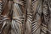 picture of palm  - Asian Palmyra palm, Toddy palm, Sugar palm, Cambodian palm