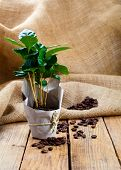 stock photo of sackcloth  - coffee plant tree in paper packaging on sackcloth wooden background - JPG