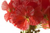 stock photo of geranium  - variegated pink and red geranium isolated on white - JPG