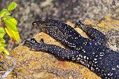 picture of monitor lizard  - Monitor lizard in the wild on the island of Sri Lanka - JPG