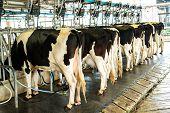 image of cows  - Dairy milking cow machine produce fresh milk to customer - JPG