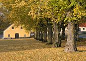pic of elm  - Elm trees - JPG