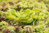 picture of carnivorous plants  - The Venus flytrap Dionaea muscipula is a carnivorous plant native to subtropical wetlands on the East Coast of the United States - JPG