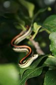stock photo of tree snake  - Garder snake slithering though the leaves of a tree - JPG
