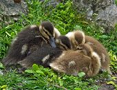 picture of huddle  - Huddle of young mallard  ducklings in spring - JPG