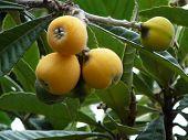 foto of loquat  - Nearly ripe loquat or nispero fruit on tree Andalucia  - JPG