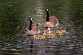 picture of baby goose  - Goose Family  - JPG