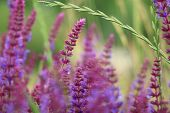 pic of purple sage  - Sage flowers - JPG