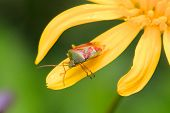 pic of nymphs  - Nymph Shield Bug on the petal of a yellow flower