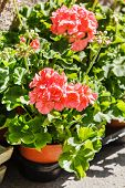 stock photo of geranium  - geranium flowers - JPG