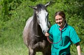 foto of great horse  - Veterinary great performing a scan to a young mare  - JPG